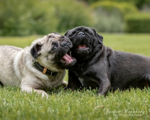 two-pugs-playing