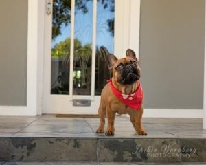 French-bulldog-on-patio