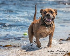 staffie-on-beach