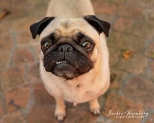 brown-pug-teeth