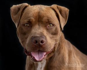 brown-pitbull