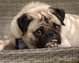 serious-pug