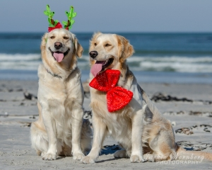 Labradors-on-beach