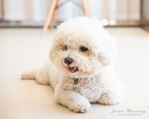 bichon-frisee-dog-lying-indoor-pose