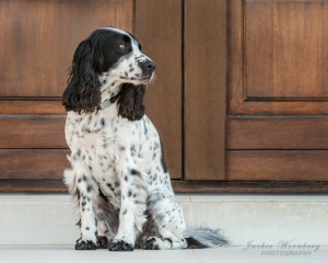 black-and-white-spaniel-in-front-of-wooden-doors