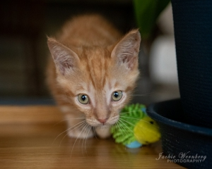 ginger-kitten-crouching-with-toy