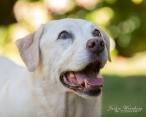 portrait-labrador-dog-smiling