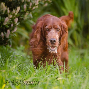 Setter in the woods