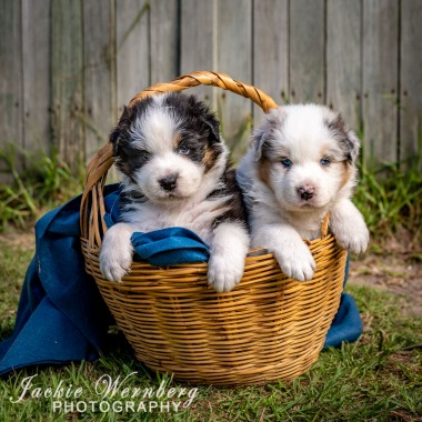 Two Pups in a basket