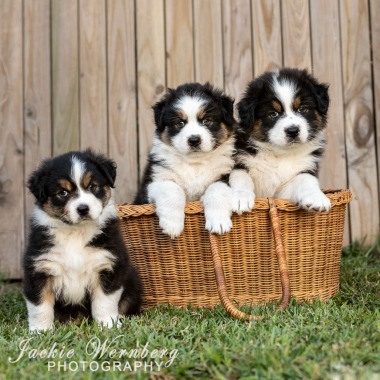 Three pups in a basket