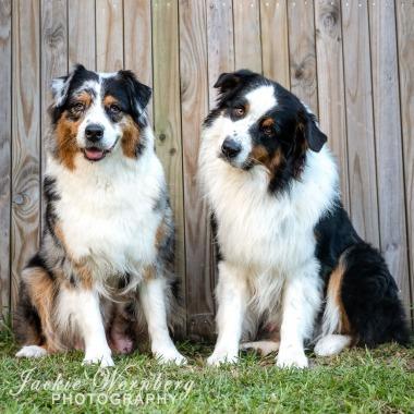 Australian Shepherd pair