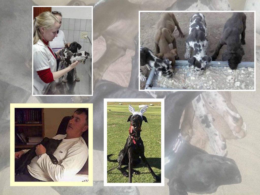 Great Dane puppies at puppy farm