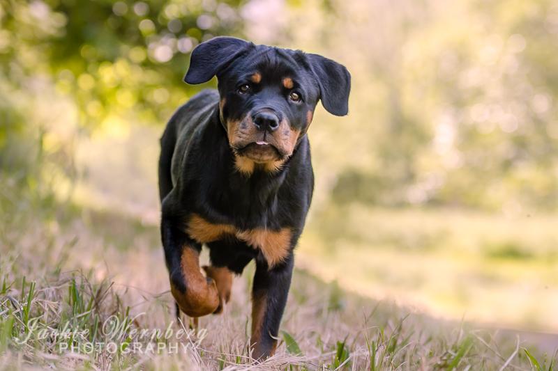 Rottweiler puppy running