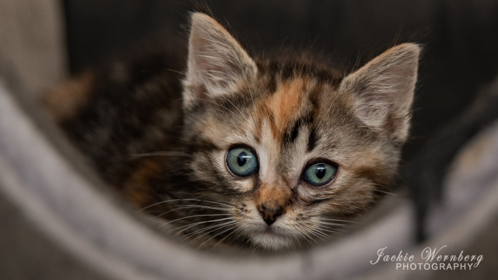 Portrait of tabby kitten with green eyes