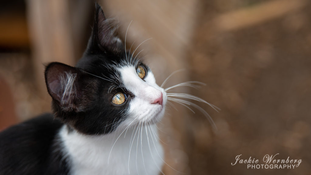 Portrait of black and white kitten with blurred background
