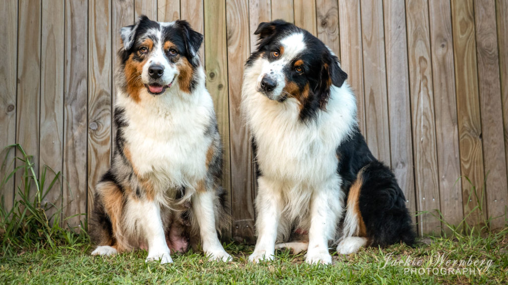 Australian shepherd breeding pair