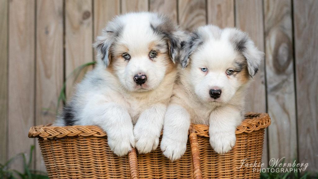 Two Australian Shepherd puppies in a basket