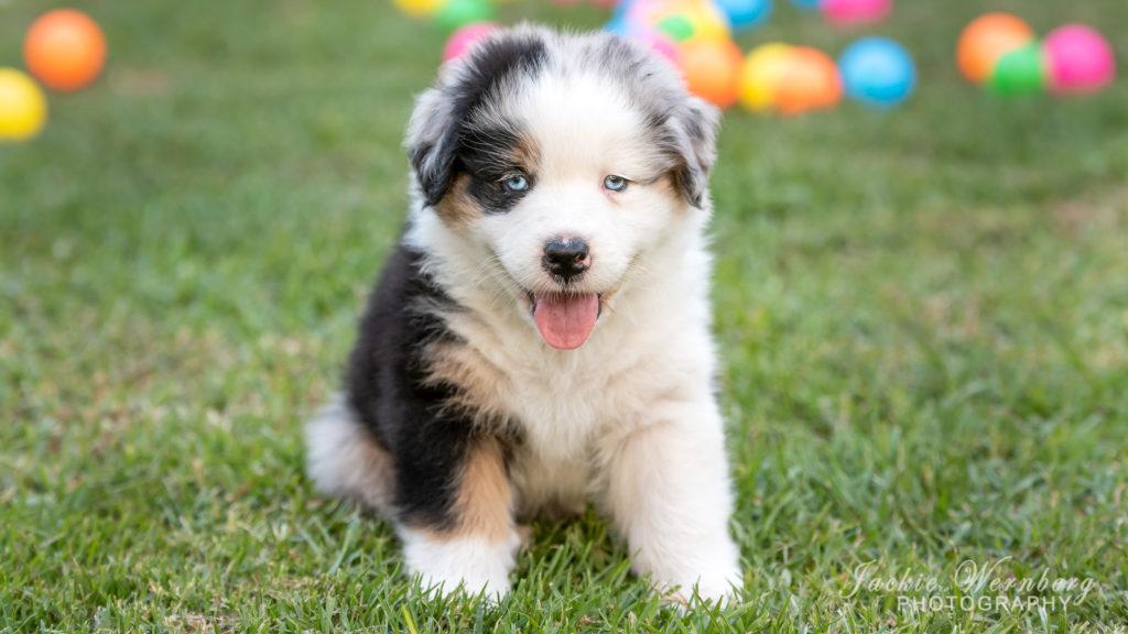 Cute Australian Shepherd puppy