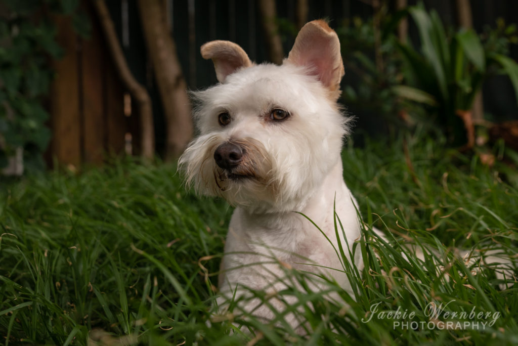 Young white terrier dog with pricked ears lying in the long grass posing for a photo shoot.