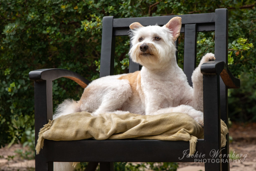 Cute white terrier dog reclining on a cushion on a wooden chair in the garden posing for a photo.
