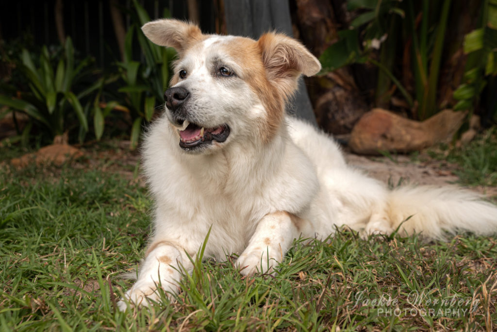 Beautiful mature white and brown dog lying in the grass with plants in the background posing for a photo shoot.