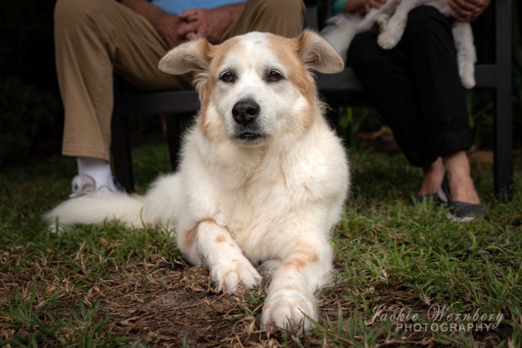 Beautiful fluffy white swiss shepherd dog lying comfortably in front of owners legs for a photoshoot