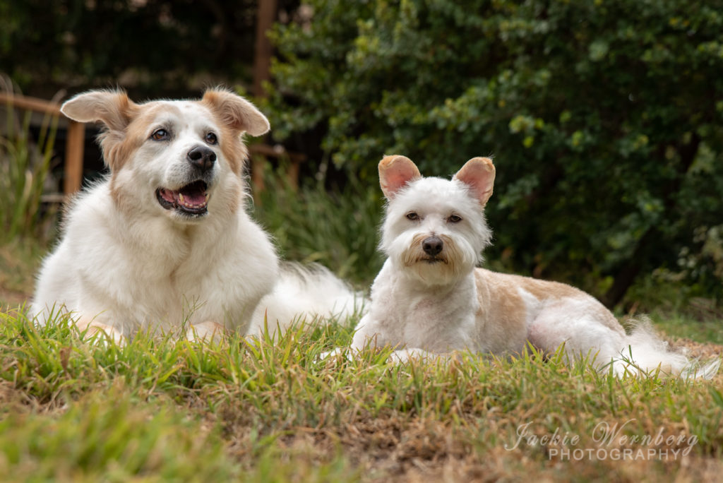 A big white dog and a smaller white terrier l\posing together on the grass in a lush garden posing for a photo shoot