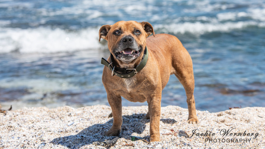 Red brown Staffie standing on the beach with the sea as a backdrop