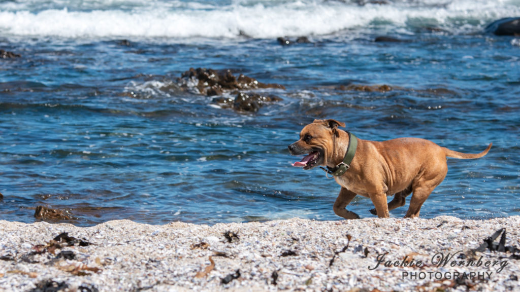 Red brown staffie running along the beach at the edge of the sea