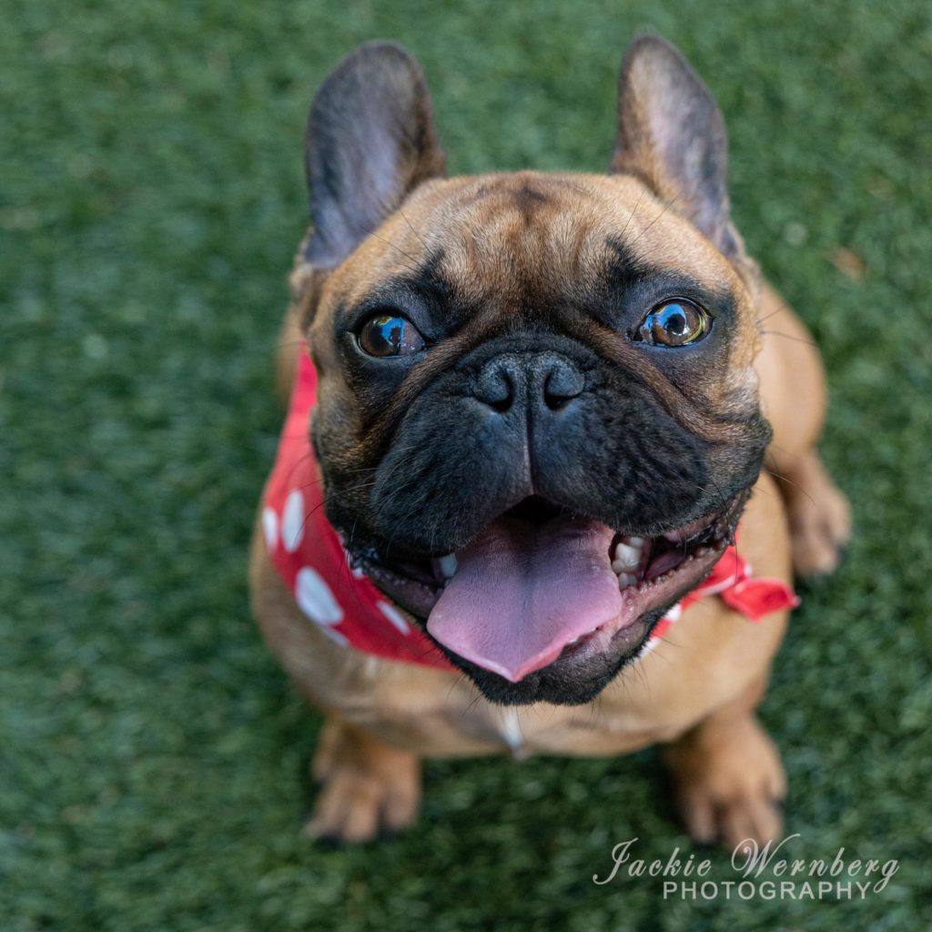 Close-up image of the face of a French Bulldog with his mouth open and wearing a red and white bandana