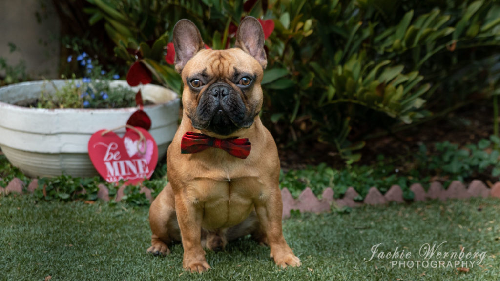 Very smart looking French Bulldog posing for a Valentine's day picture wearing a red bow-tie
