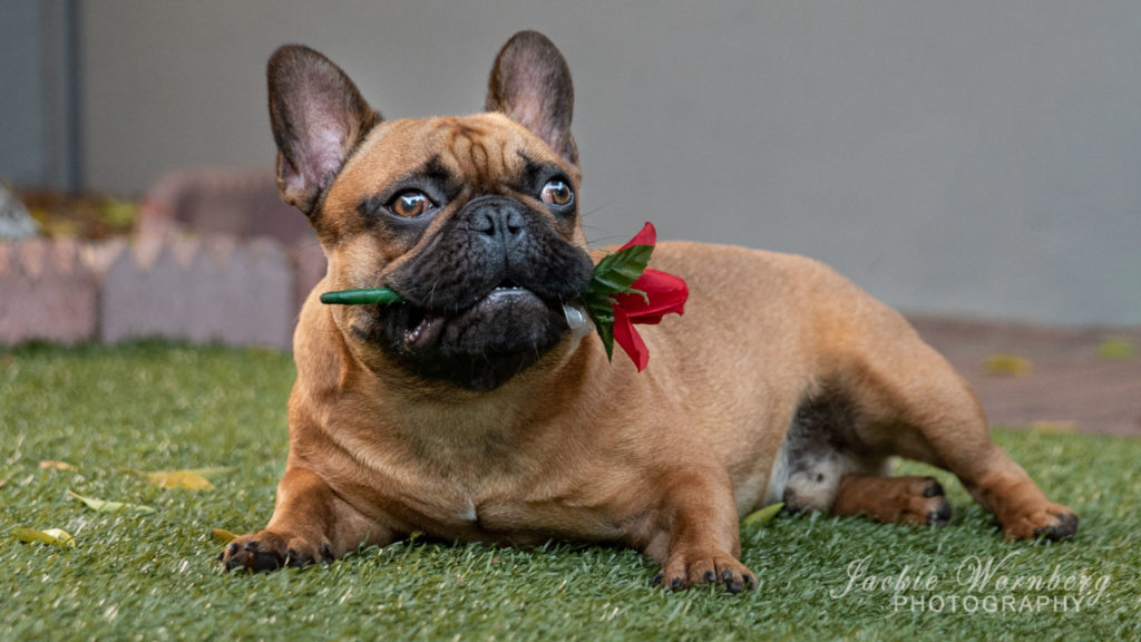 Adorable french Bulldog puppy lying on the lawn with a red rose between his teeth.