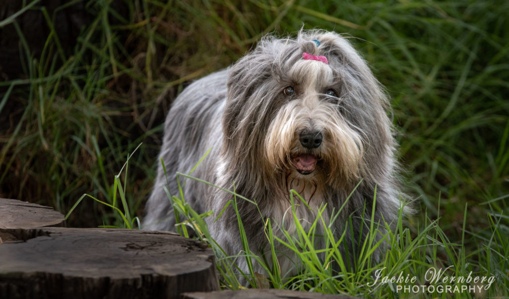 bearded collie in the grass