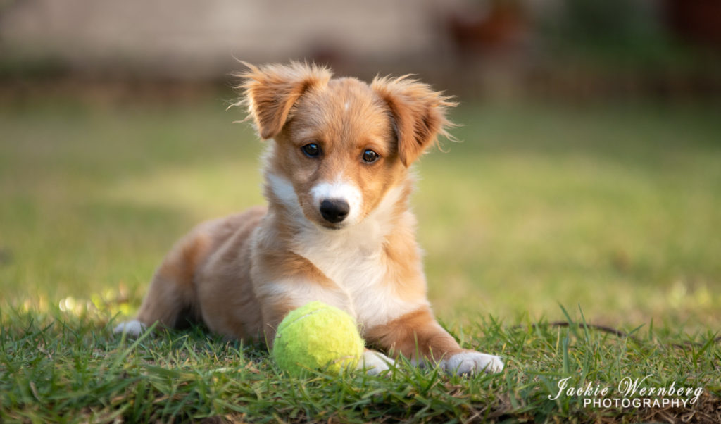 puppy posing with ball